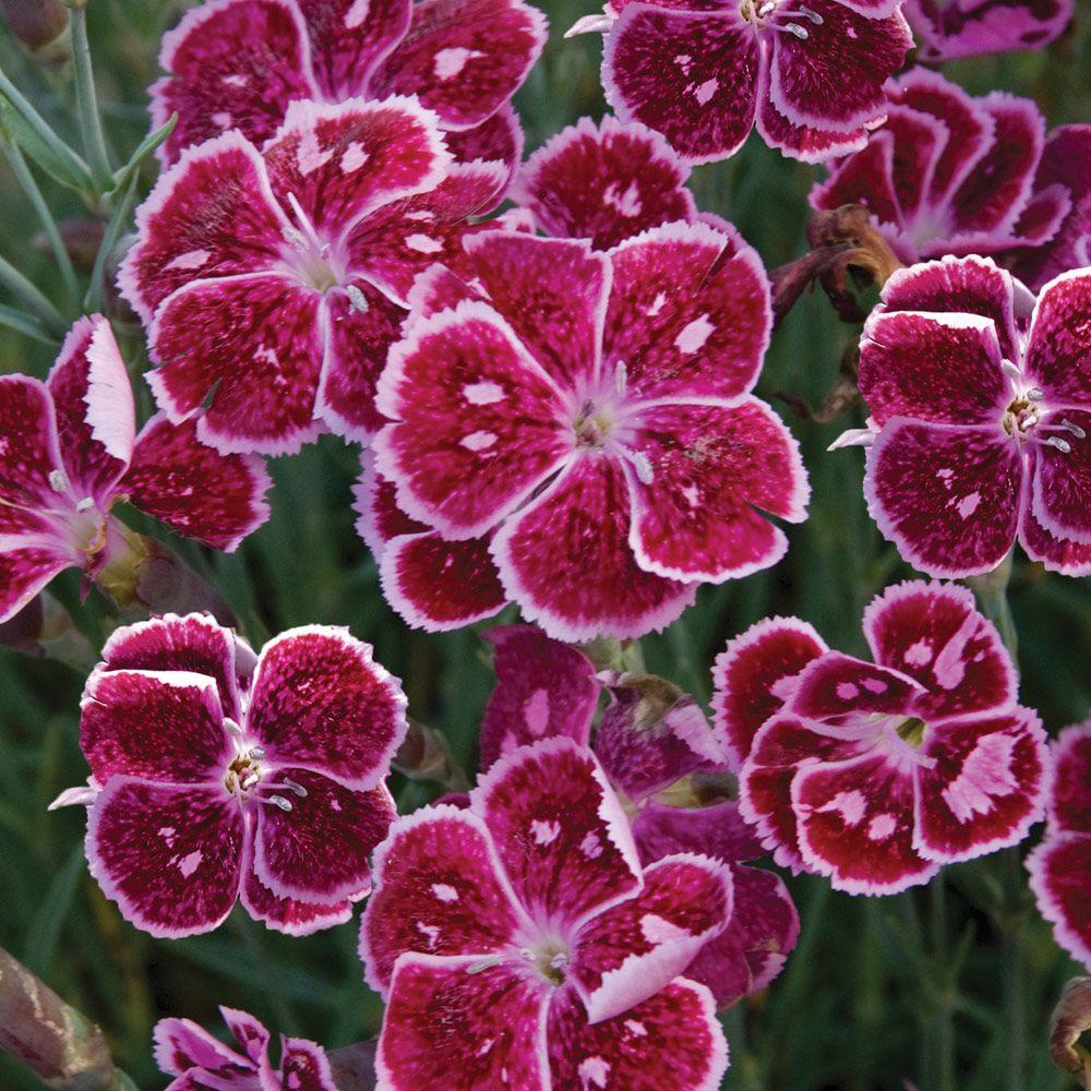 2 5 qt fire and ice dianthus with purple red and white blooms live perennial plant 1337q the home depot