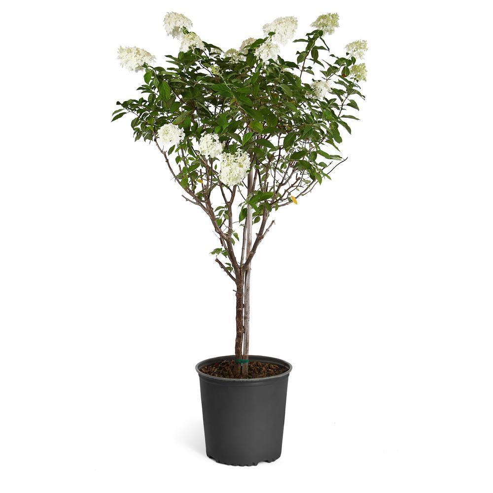 White Flowering Limelight Hydrangea Tree
