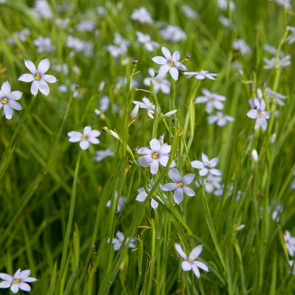 Hummingbirdbutterfly attractant blue eyed grass perennials 25 qt sassy grass sisyrinchium live perennial plant tiny blue flowers mightylinksfo