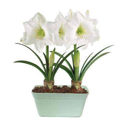 Amaryllis athene in Mint Crackle Planter