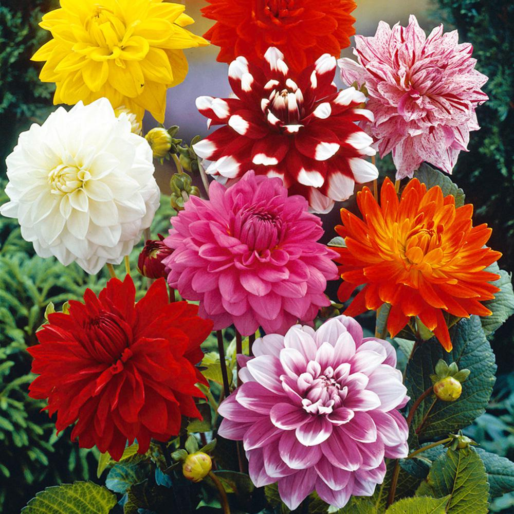 Van Zyverden Dahlia Decorative Mixed Bulbs (14-Pack)