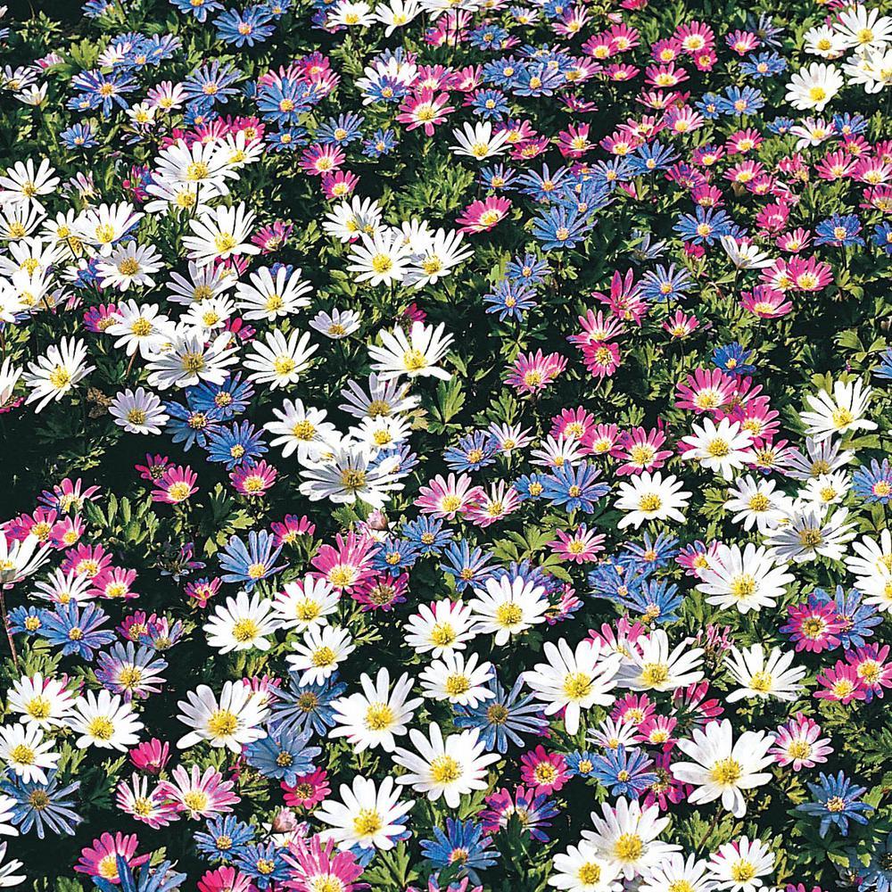 Internet 307774981 Blanda Mult Colored Windflower Anemone