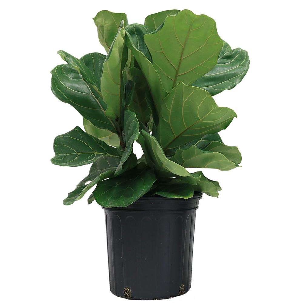 Costa Farms Ficus Lyrata Fiddle Leaf Fig Floor Plant In 8 75 In Grower Pot 10pan The Home Depot