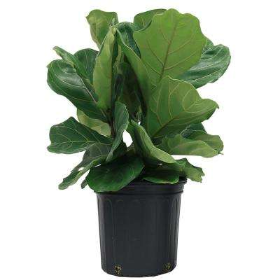 Ficus Lyrata Fiddle Leaf Fig Floor Plant In 9 25 Grower Pot