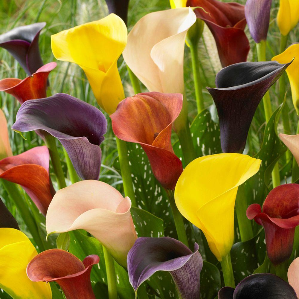 Mixed Calla Bulbs (8-Pack)