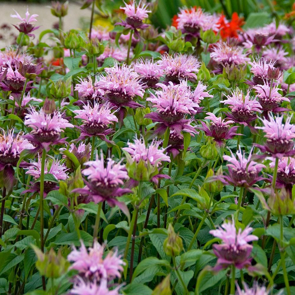 Van Zyverden Bee Balm Beauty Of Cobham Roots (5-Set)