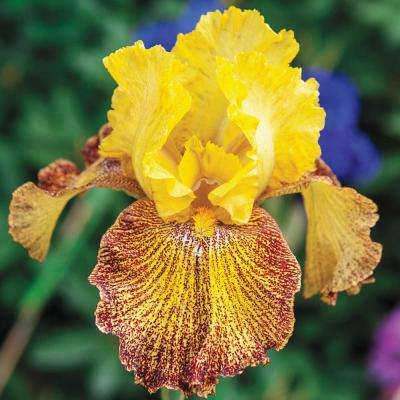Jitterbug Bearded Iris Live Bareroot Plant Yellow and Red Flowers (5-Pack)