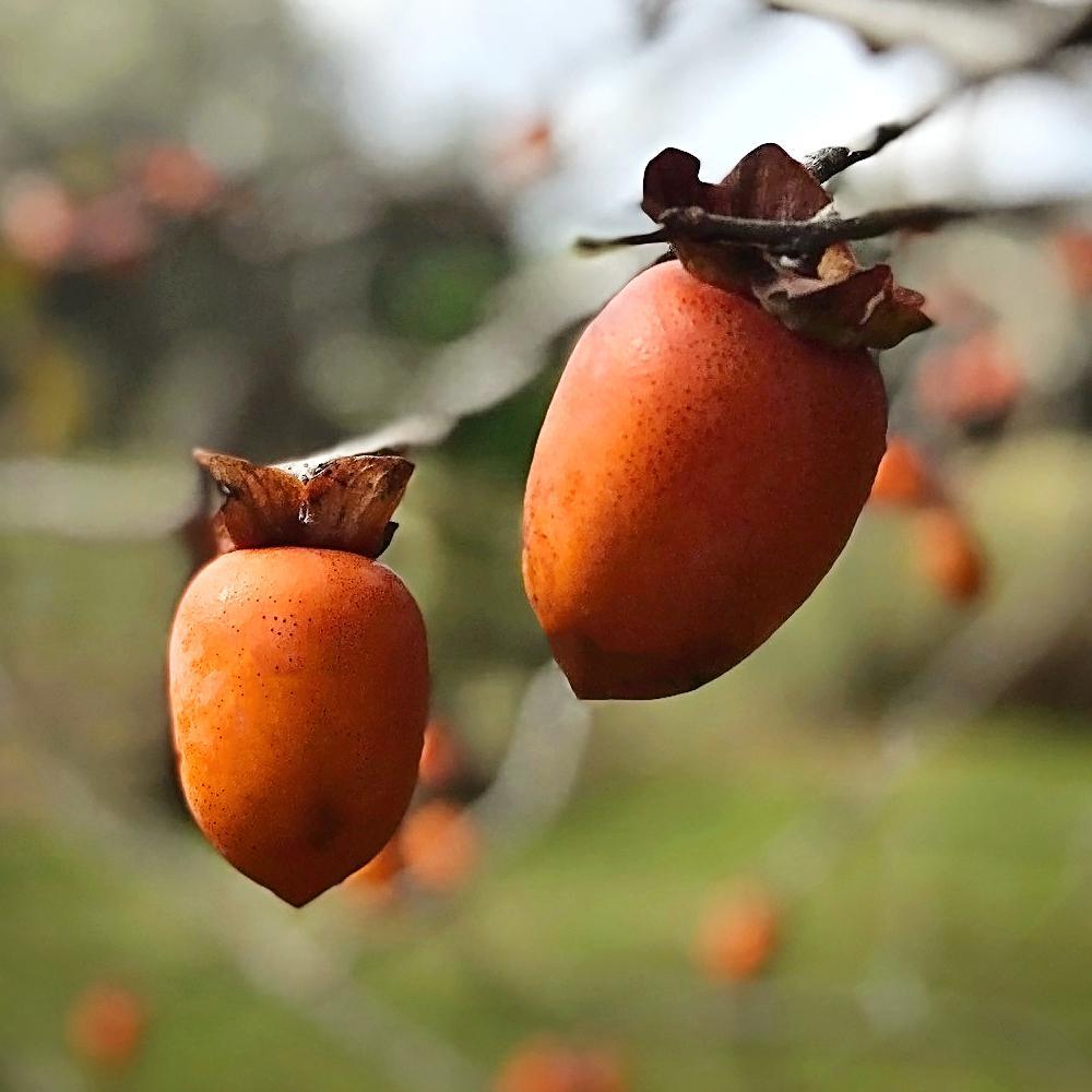 Saijo Persimmon Tree