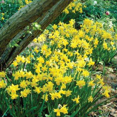Narcissus Tete-e-Tete Bulbs (100-Pack)