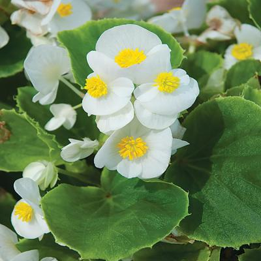 4.5 in. White Begonia Plant