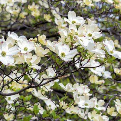 White Ornamental Dogwood Tree