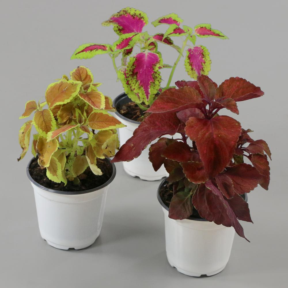 Cottage Farms Direct 0 5 Qt Coleus Plant Collection 3 Piece