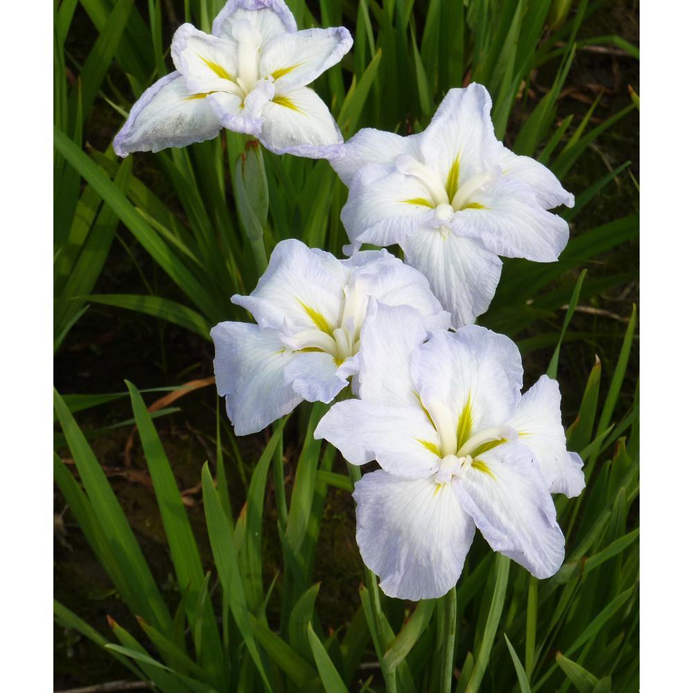 Van Zyverden Premium Series Pond Marginal Iris Ensata White Lady Kit