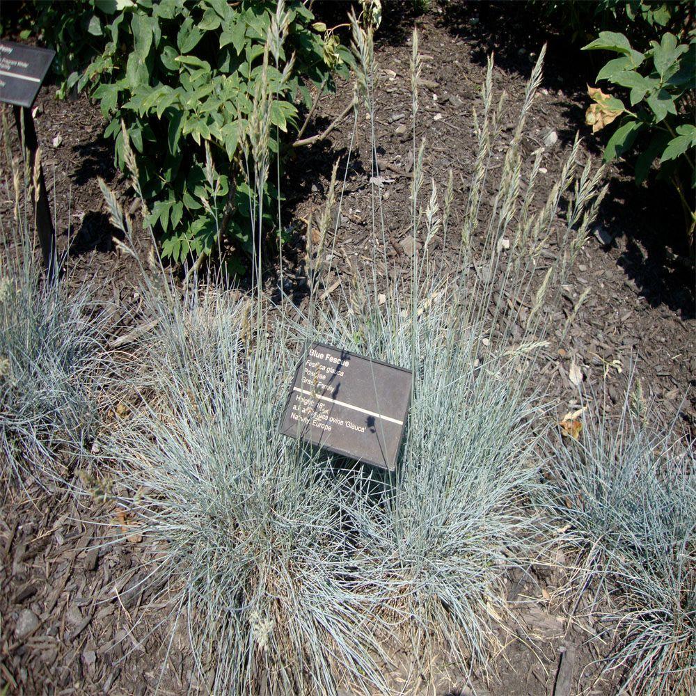 Onlineplantcenter 1 gal elijah blue fescue grass f542cl for Blue decorative grass