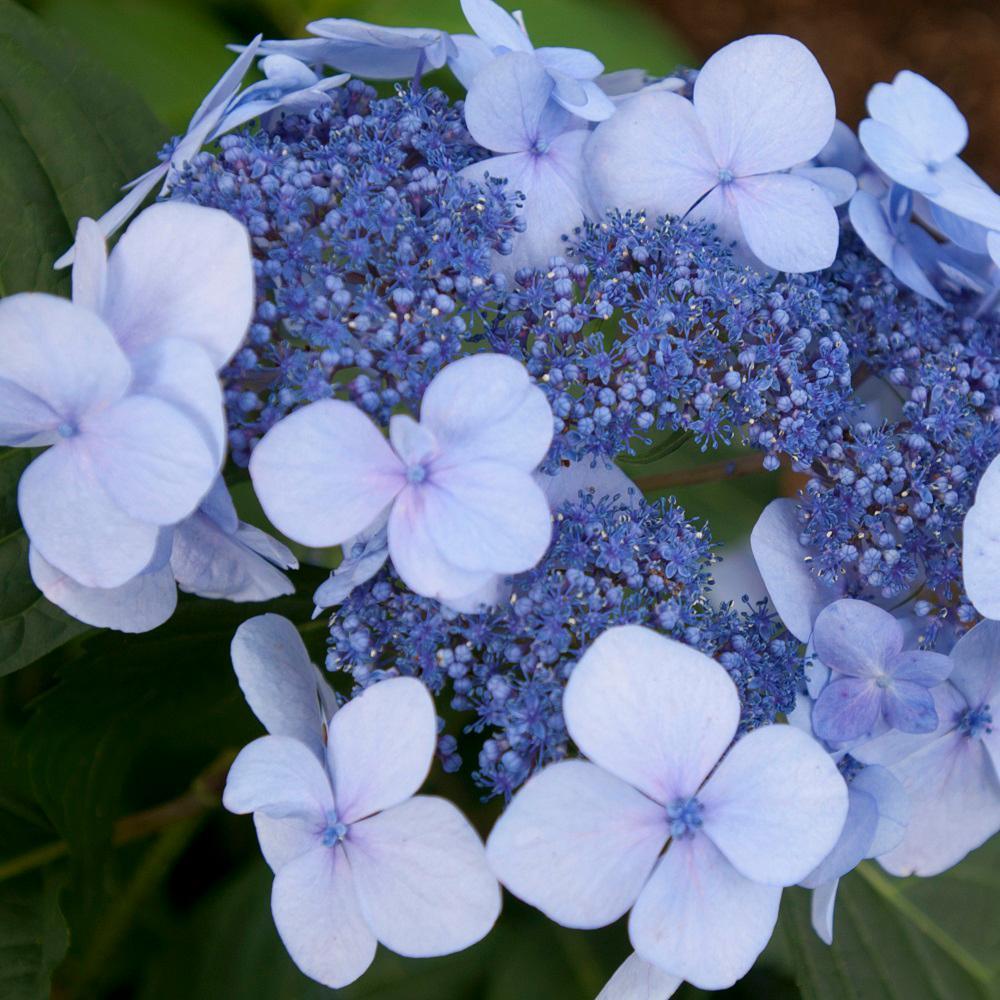 Endless Summer 1 Gal Twist N Shout Hydrangea Macrophylla