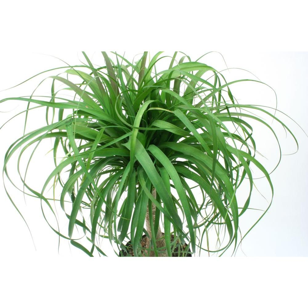 Costa Farms Ponytail Palm In 6 Grower Pot