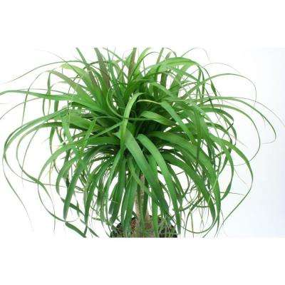 Ponytail Palm in 6 in. Pot