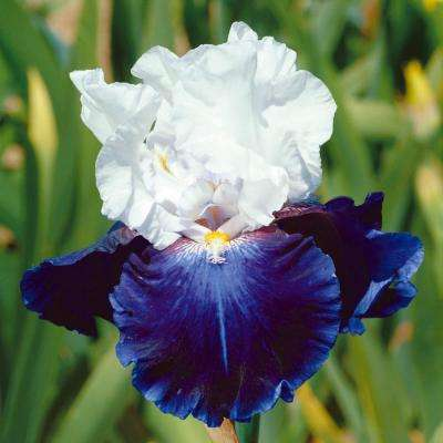 Captains Choice Reblooming Iris, Live Bareroot Plant, White and Blue Flowering Perennial (1-Plant)