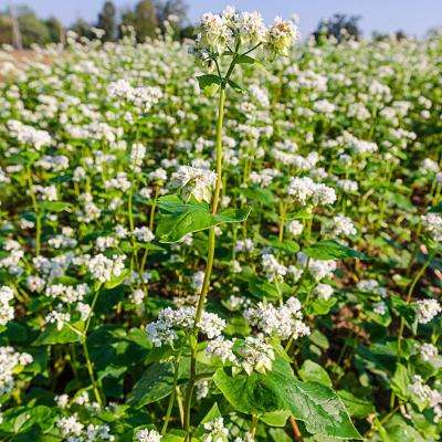 1.5 lbs. Buckwheat Cover Crop