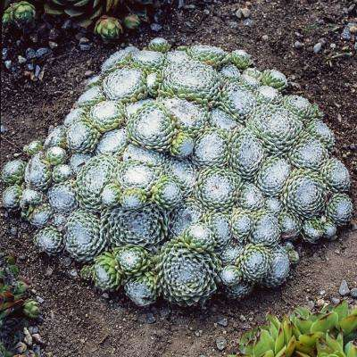 2 in. Pot Cobweb Hens and Chicks Semperviven Ground Cover with Green Foliage Live Perennial Plant (1-Pack)