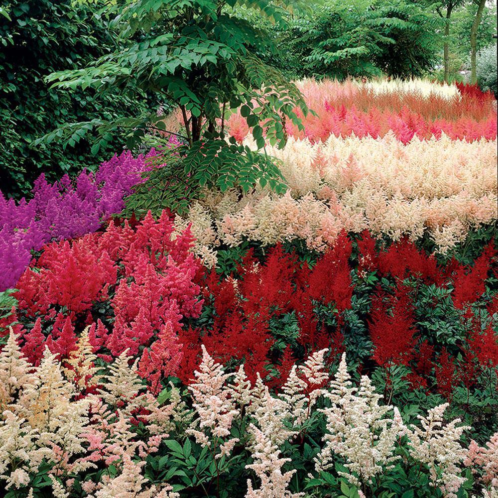 Spring Hill Nurseries Astilbe Garden Mix 6 Pack
