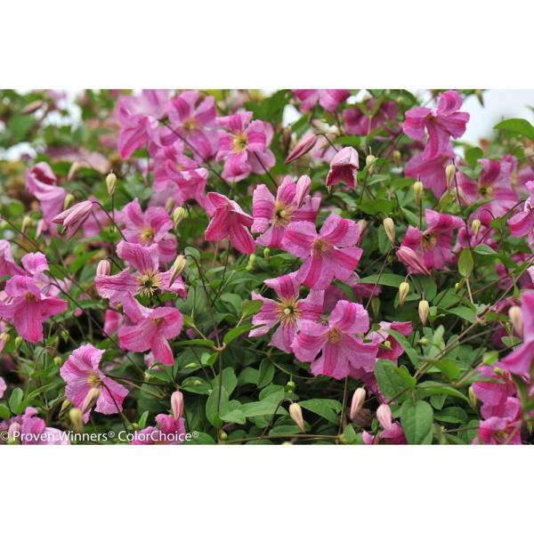 4.5 in. qt. Pink Mink (Clematis) Live Shrub, Pink Flowers