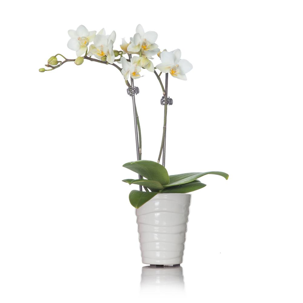 White Mini Orchid Plant in Ceramic Pot