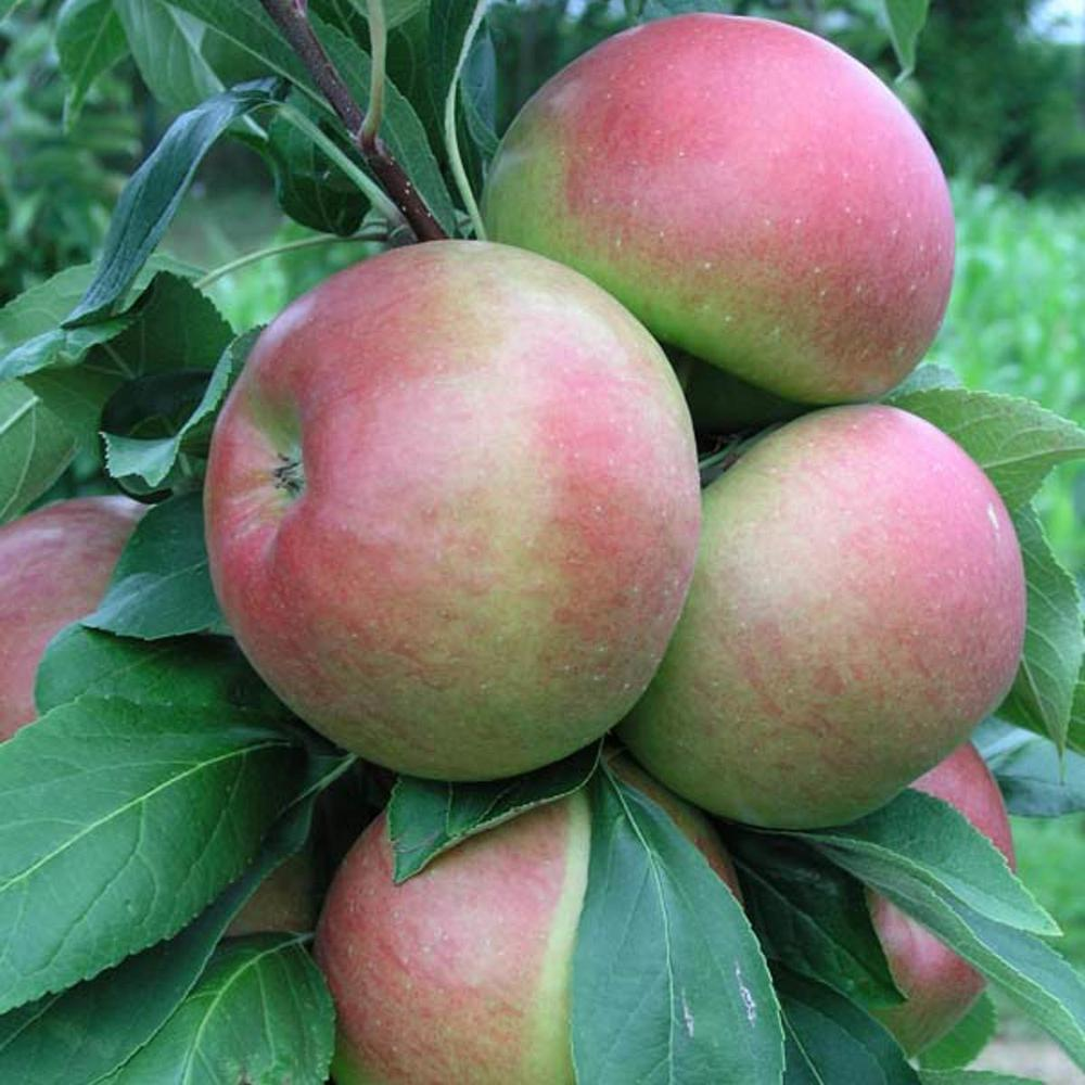 Blushing Delight Urban Apple Malus Live Fruiting Bareroot Tree (1-Pack)