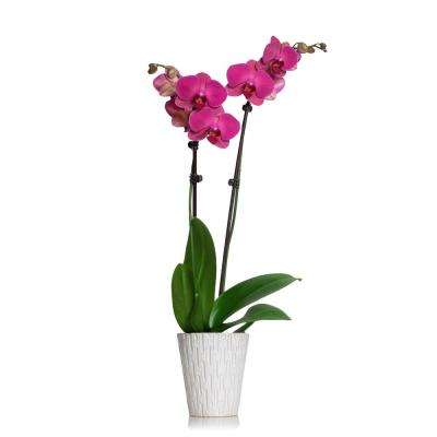 Purple 5 in. Classic Orchid Plant in Ceramic Pot