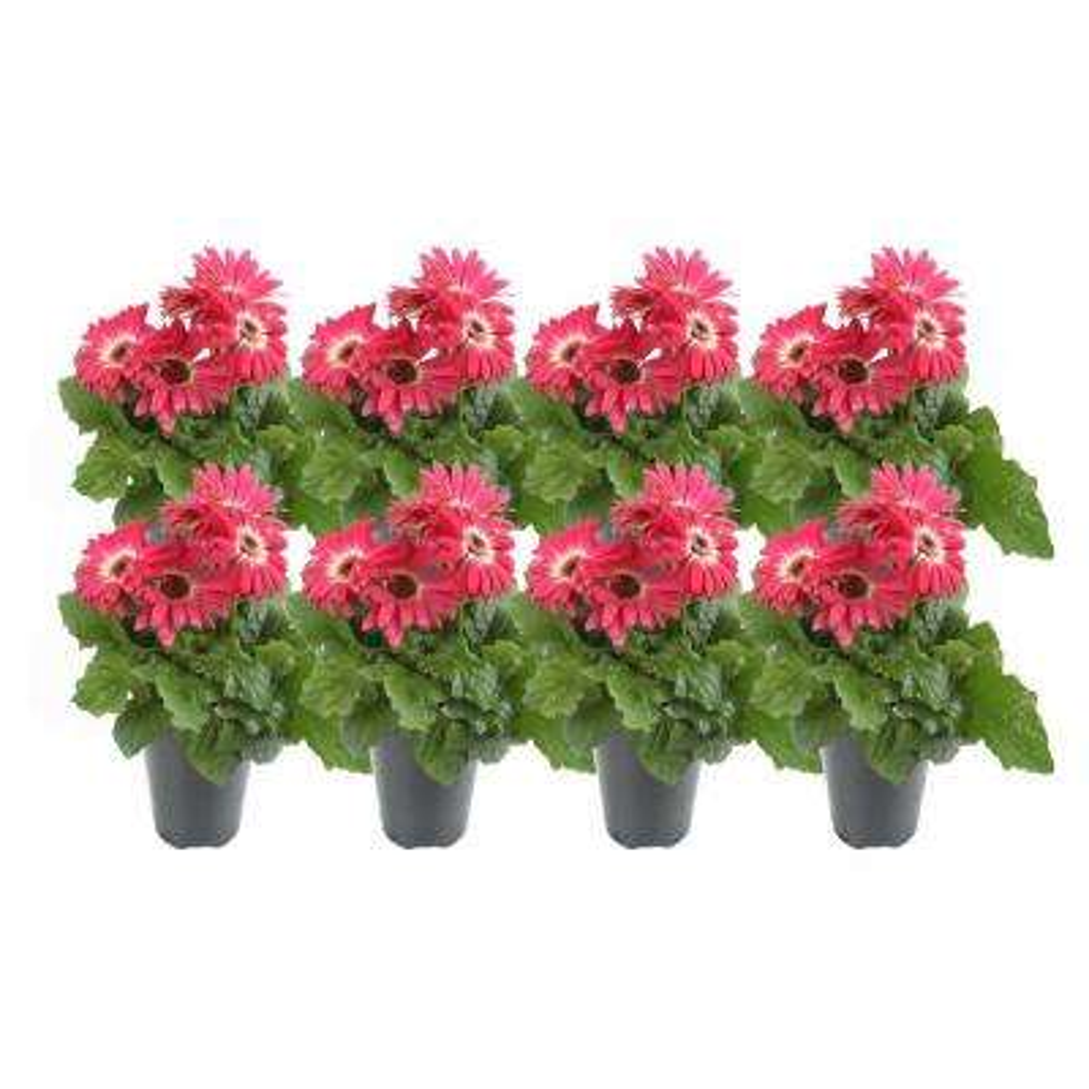 1 Qt. Pink Gerbera Flowers in Grower's Pot (8-Pack)
