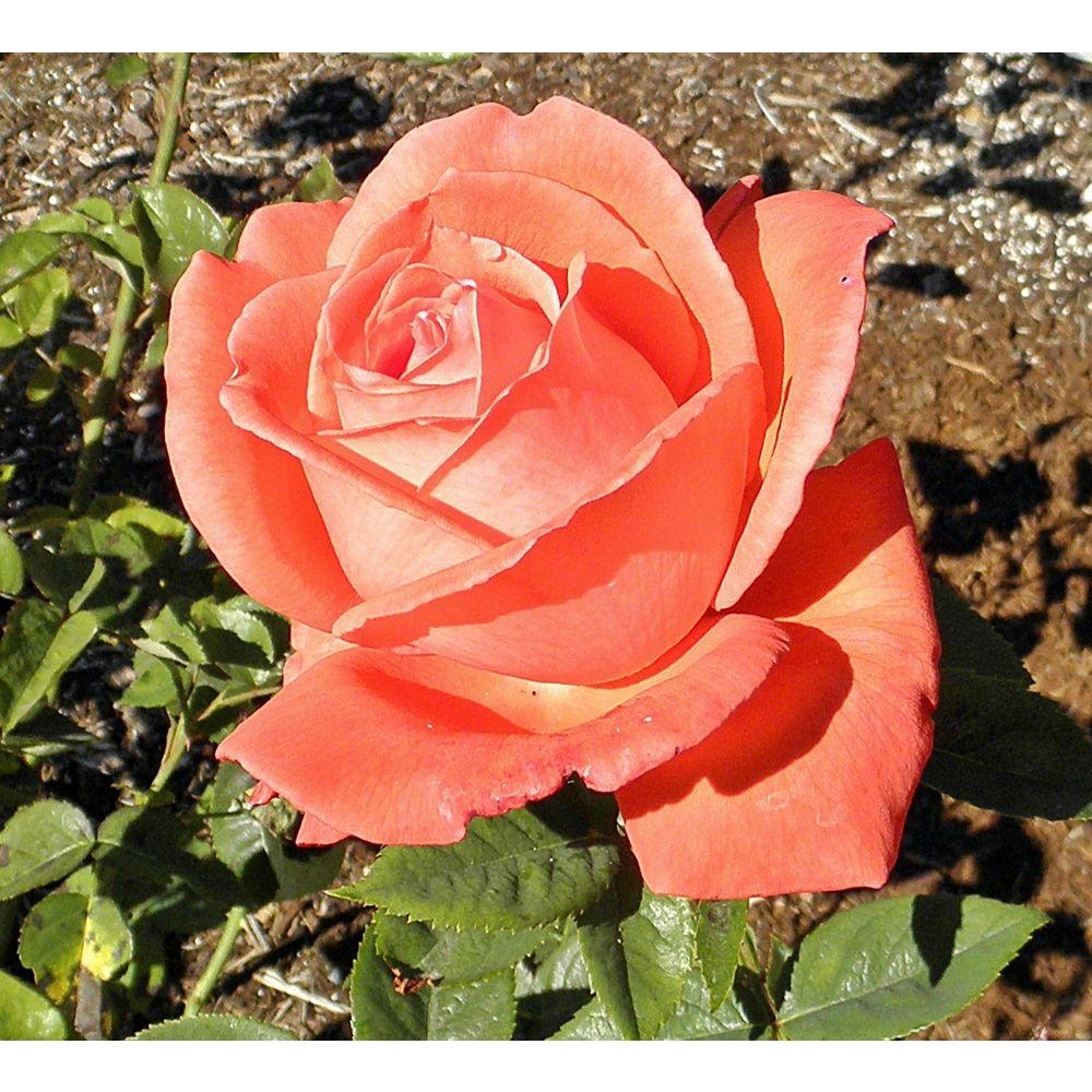 Mea Nursery All Time Favorites Rose Tropicana 60008 The