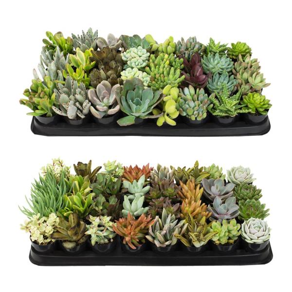 2.5 in. Succulent Plant Collection (64-Pack)