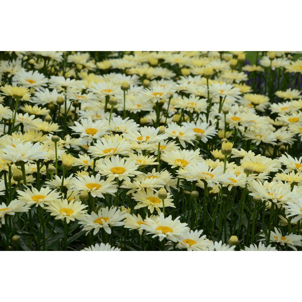0.65 Gal. Yellow Flowers Amazing Dasies Banana Cream Shasta Daisy (Leucanthemum) Live Plant