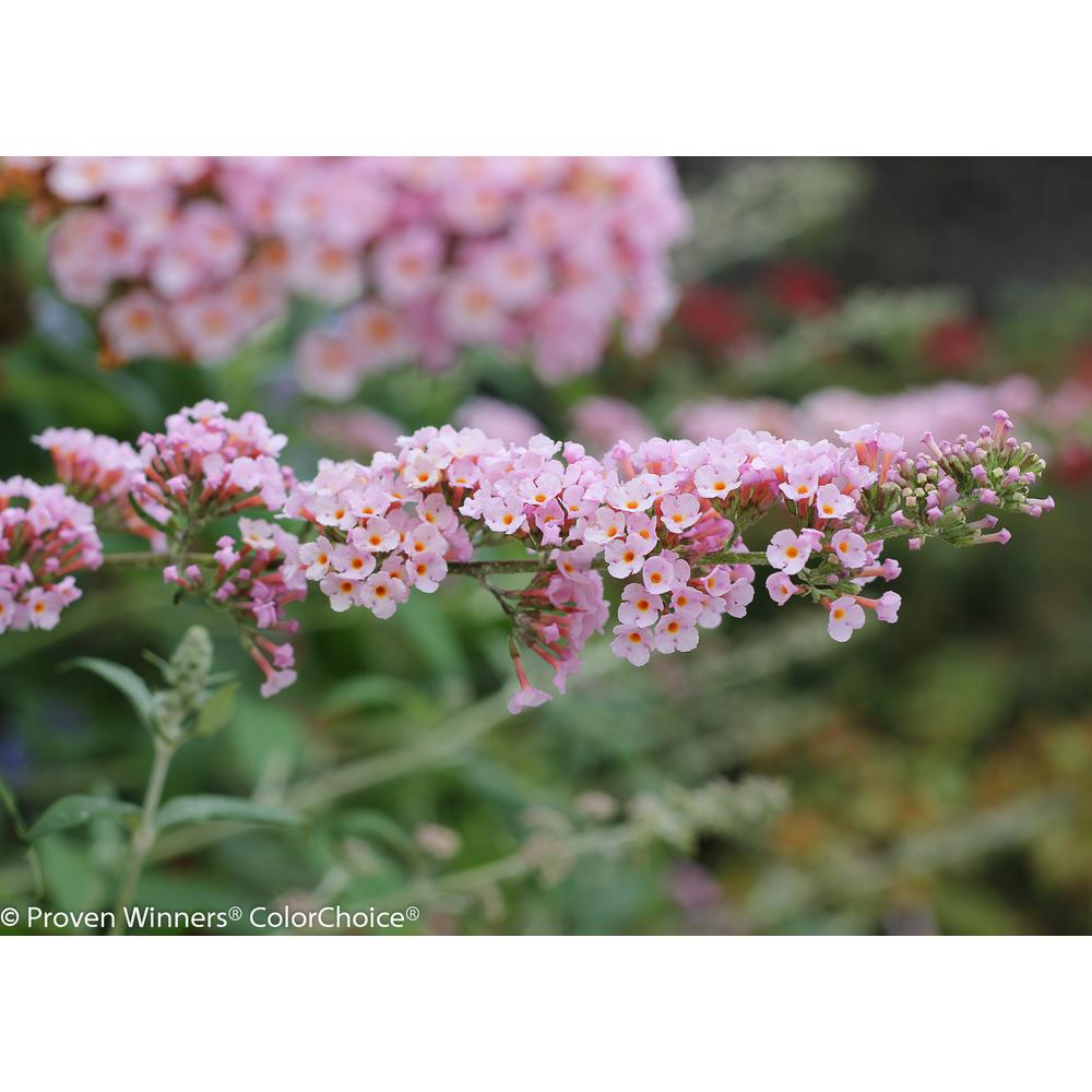 Proven Winners 1 Gal Inspired Pink Butterfly Bush Buddleia Live