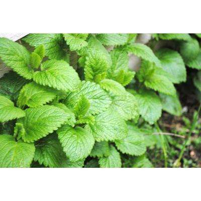 4.25 in. Grande Proven Selections Peppermint, Live Plant, Herb (Pack of 4)