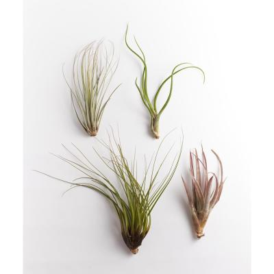 Giant Air Plants (4-Pack)