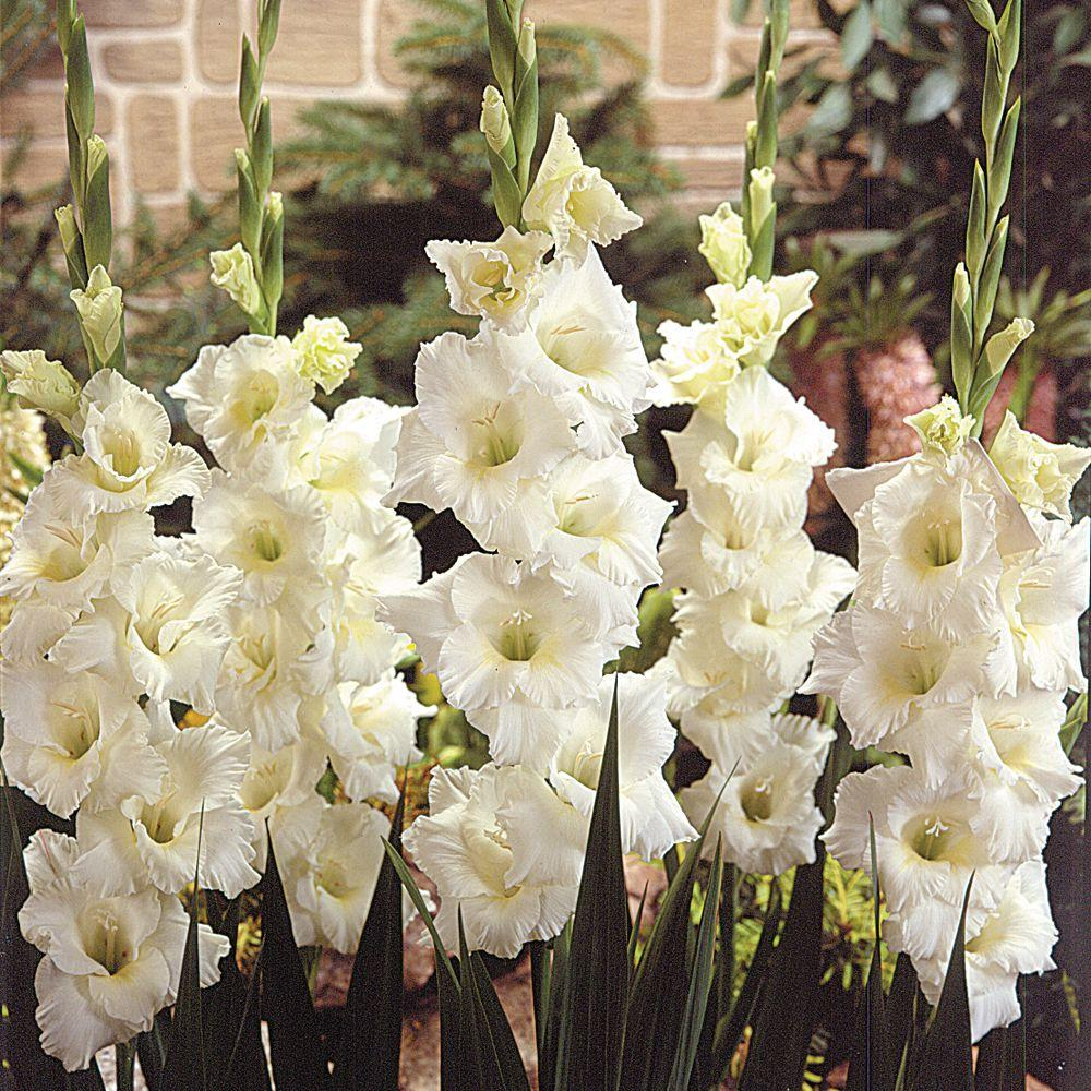 Martha Stewart Living Gladiolus White Friendship Dormant Bulbs (70-Pack)