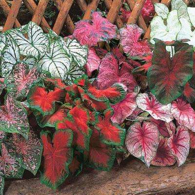 Caladium Bulbs (3-Pack)