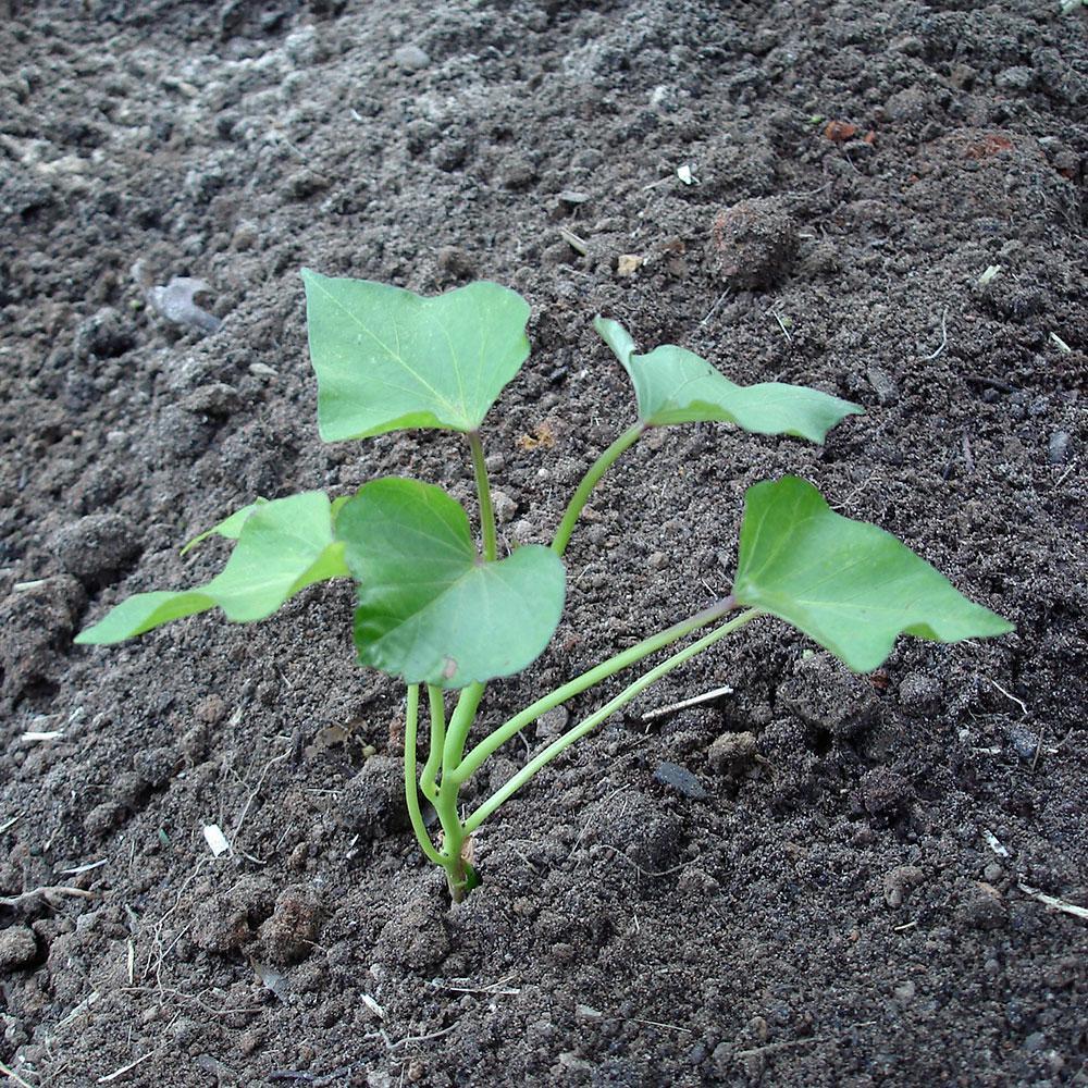 Bonnie Plants 6pk Potato Sweet 4131 The Home Depot