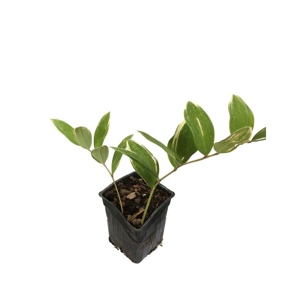 4 in. Pot Solomon Seal Plant