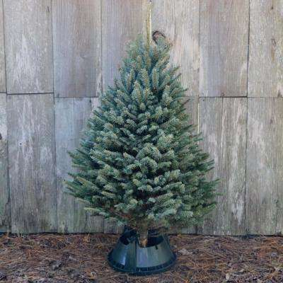 5 ft. Freshly Cut Blue Spruce Real Christmas Tree