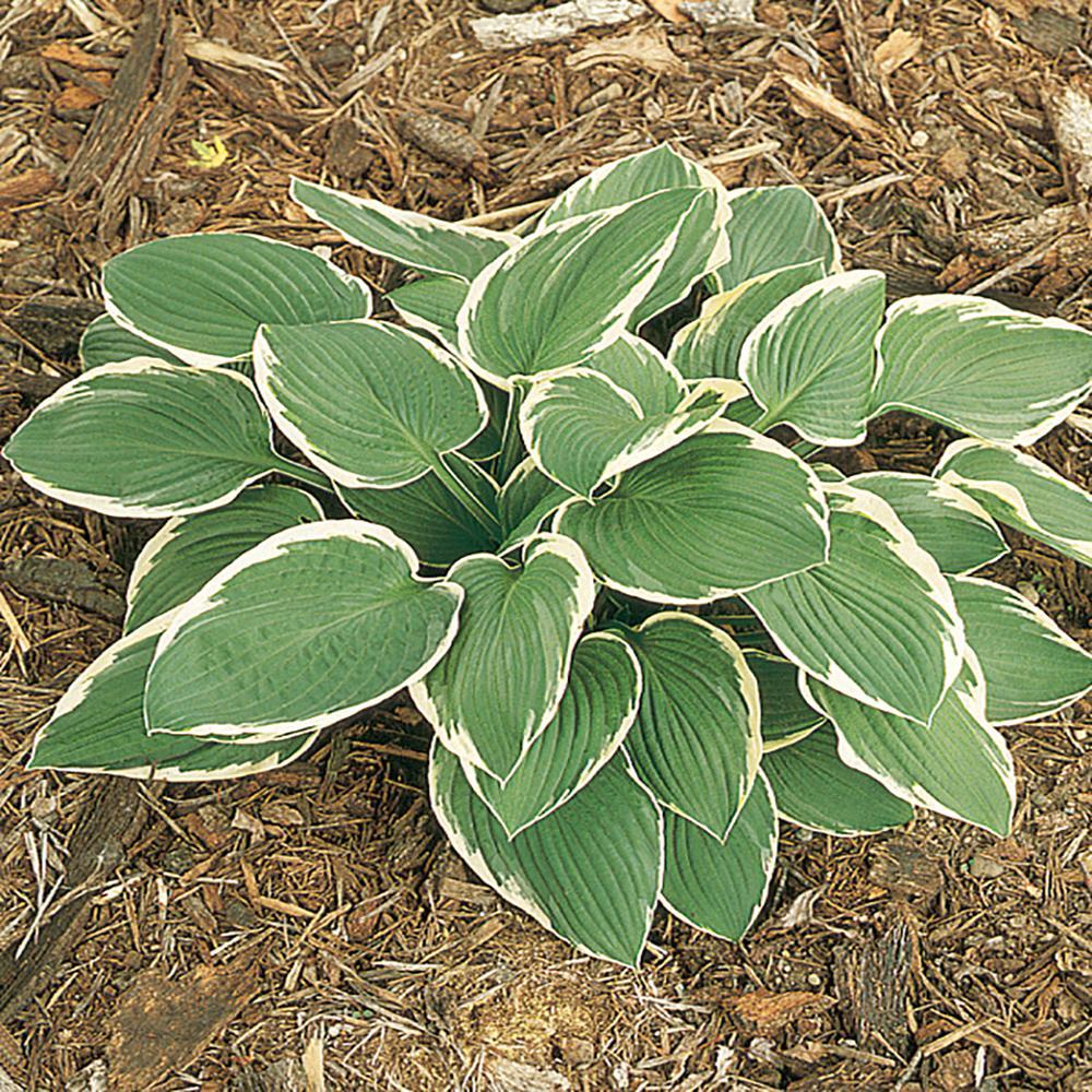 2.5 Qt. Francee Variegated Hosta Plant