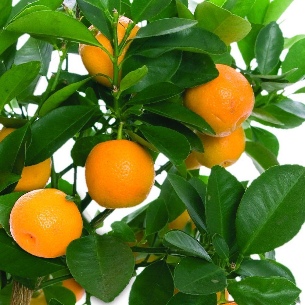 Bloomsz Orange Tree In Decorative Planter 00414 The Home Depot