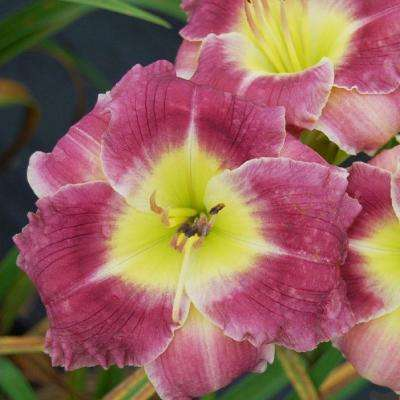 2.5 Qt. Joy of Living Butterfly Bliss Daylily