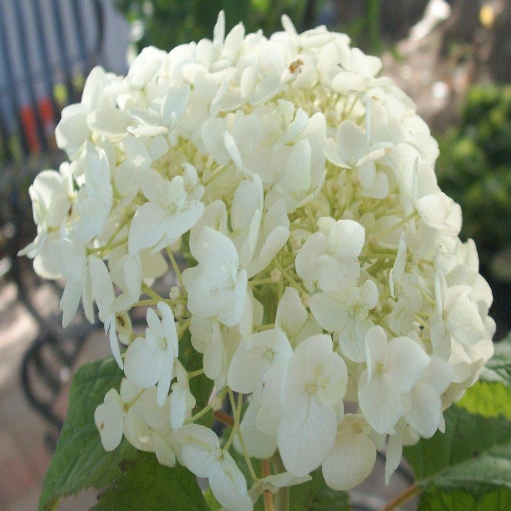 Proven Winners 3 gal. Incrediball Hydrangea Shrub