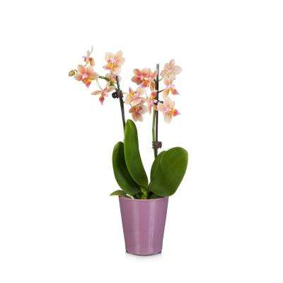 Salmon 3 in. Holiday Orchid Plant in Ceramic Pot