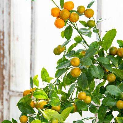 2 Qt. Pot Calamondin Orange Citrus, Live Potted Tropical Plant, White Flowers to Orange Fruit (1-Pack)