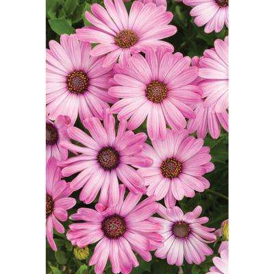 4-Pack, 4.25 in. Grande Bright Lights Pink African Daisy (Osteospermum) Live Plant, Pink Flowers