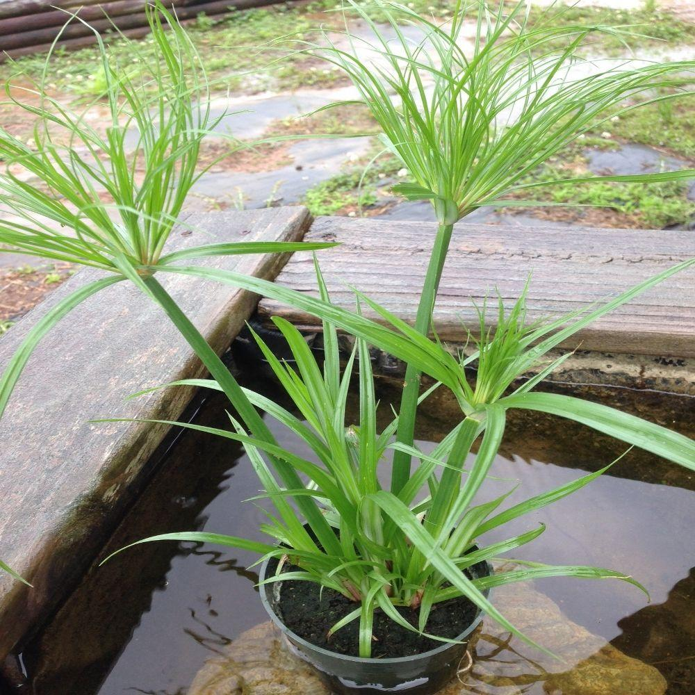 4 In Dwarf Giant Papyrus Tut Potted Bog Marginal Pond