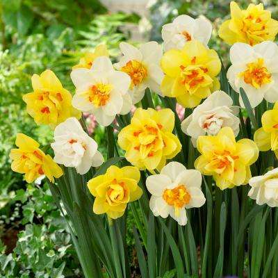 Daffodil Double Mix Bulbs (50-Count/Pack)